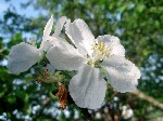 Malus domestica Borkh.  Плодовое дерево семейства розоцветных (Rosaceae) высотой 3-12 метров. .