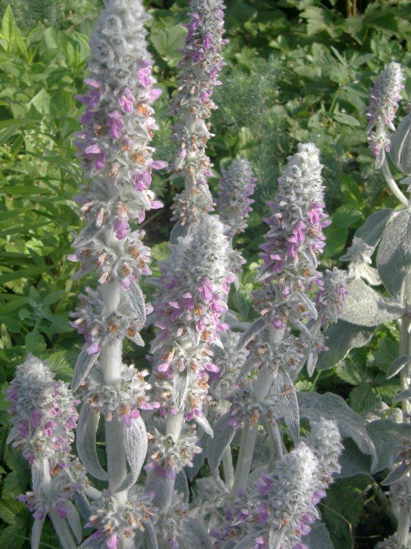 Стахис нежность выращивание из семян 3